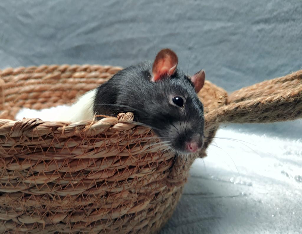 LORTHEMAR – Rat