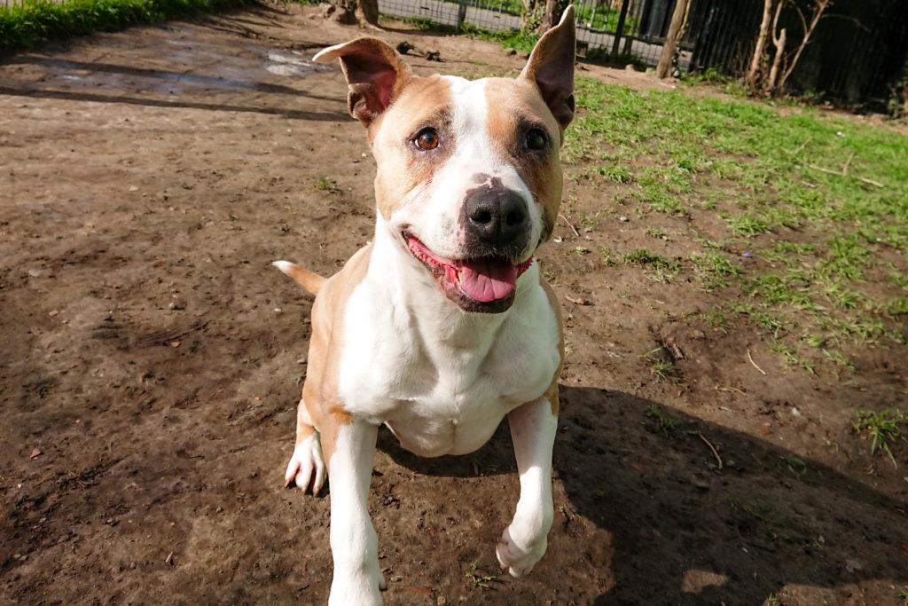 MONA – American Staffordshire Terrier