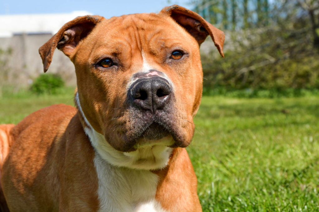 PABLO – American Staffordshire Terrier