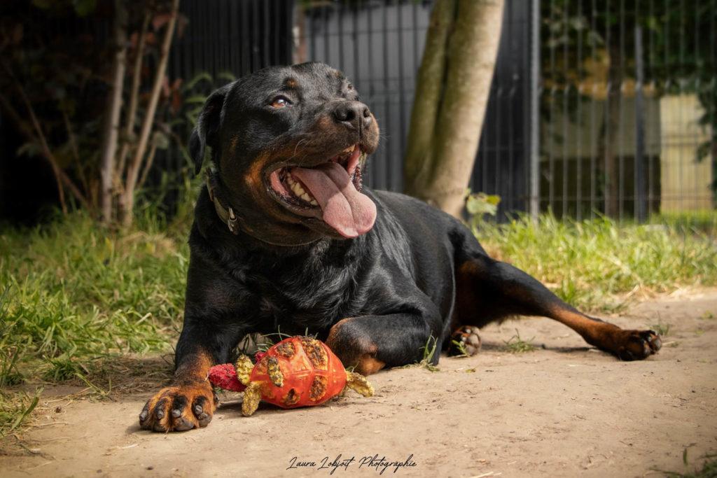 NISKO – Rottweiler