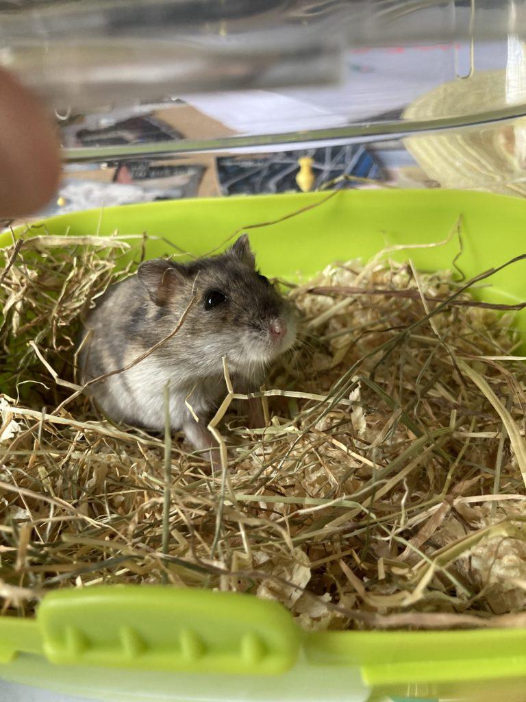 Maky – Hamster nain russe