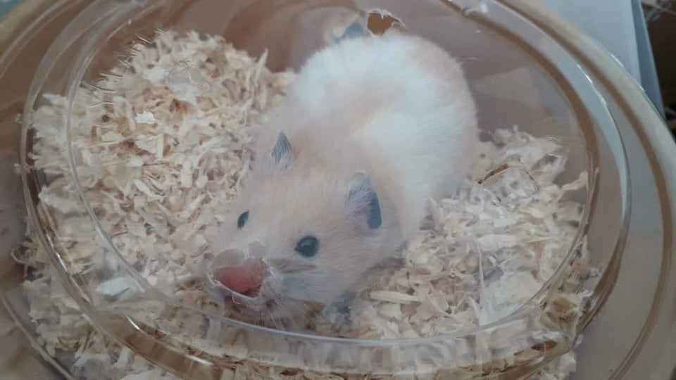 BOUNTY – Hamster syrien