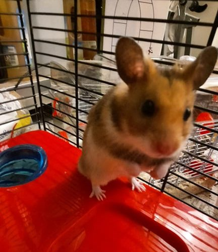CACAHUETE – Hamster syrien