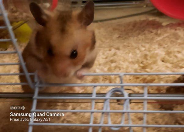 PISTACHE – Hamster syrien
