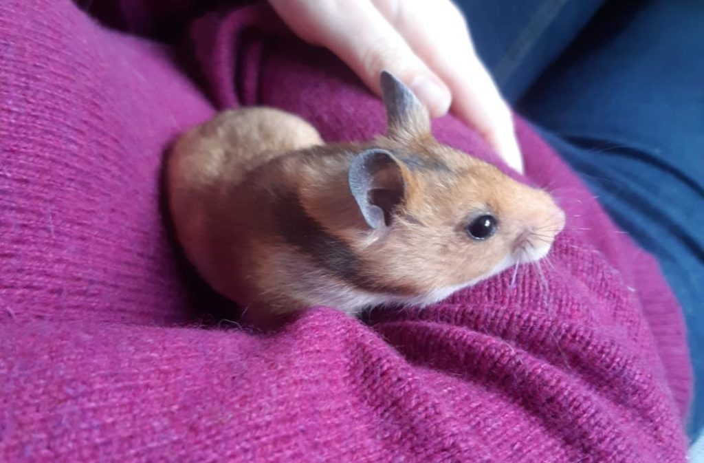 LUNEA – Hamster syrien