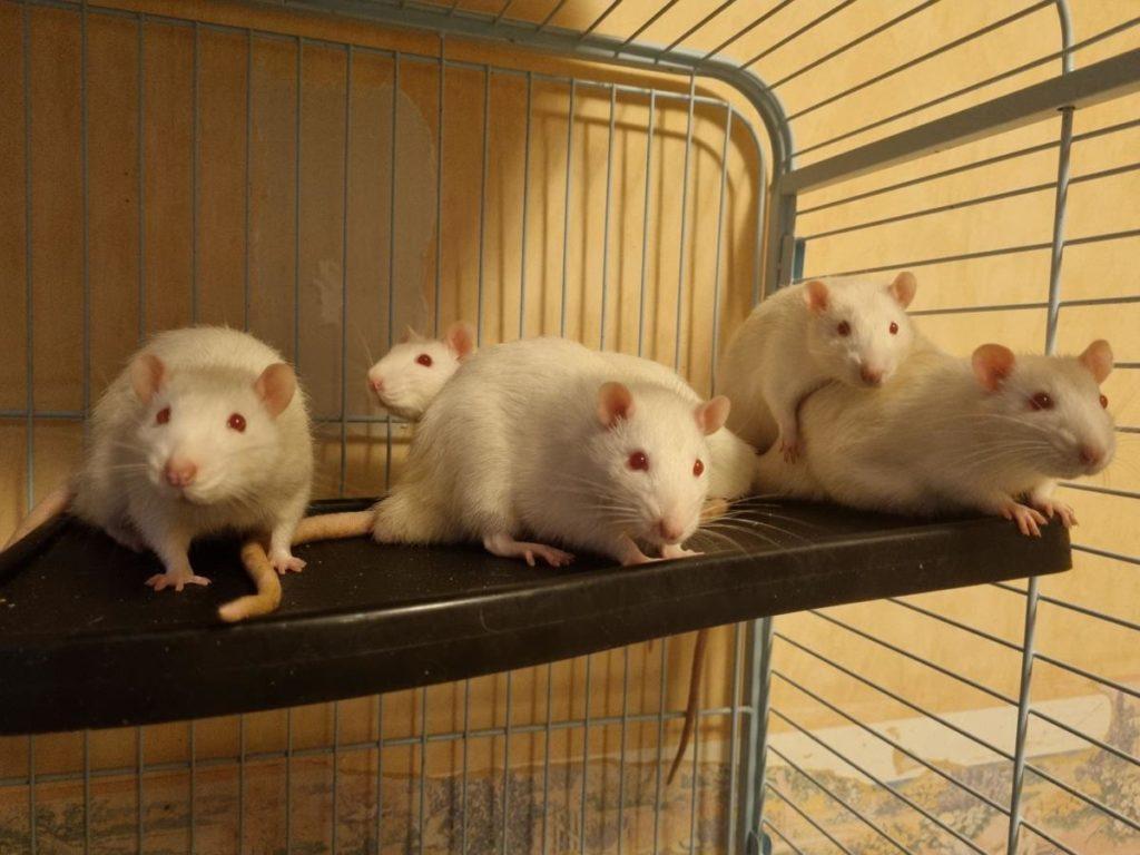 Rats sortis de laboratoire