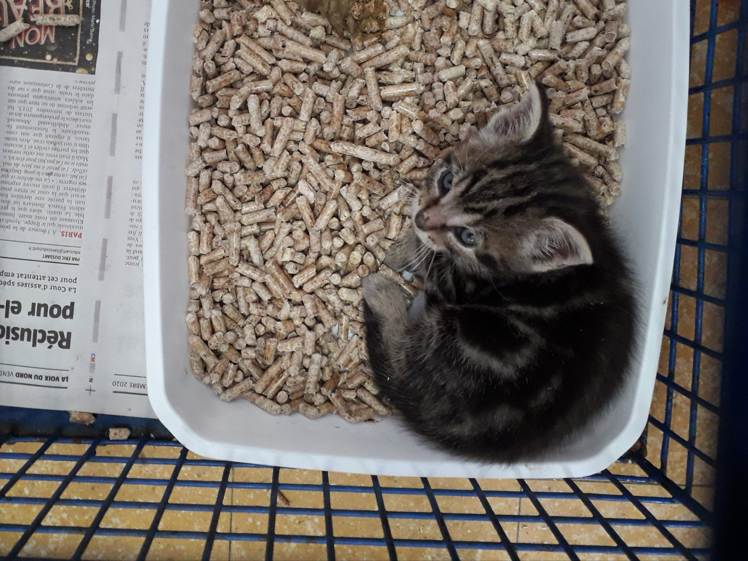 Médaille 8167 (N° Dossier 29375) Mâle chaton brown tabby trouvé le 07/09/2021 à Pérenchies