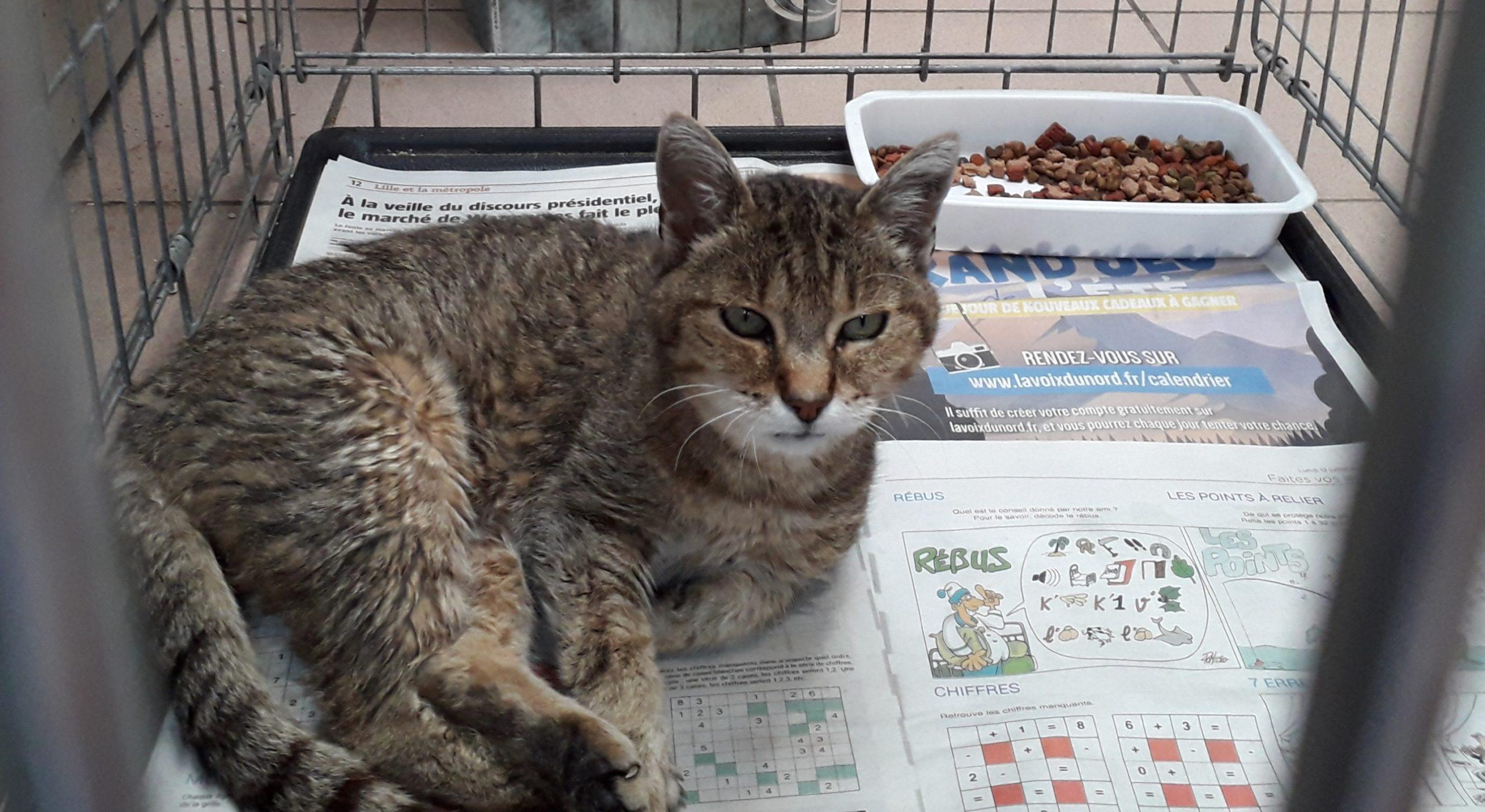 Médaille 8515 (N° Dossier 29383) femelle tigrée trouvée à GENECH le 08 Septembre 2021