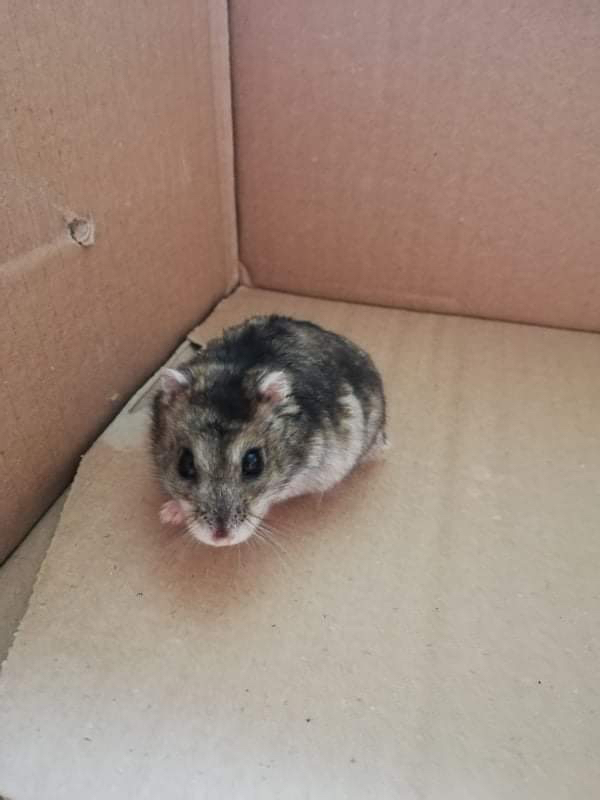 CHOUQUETTE – Hamster russe