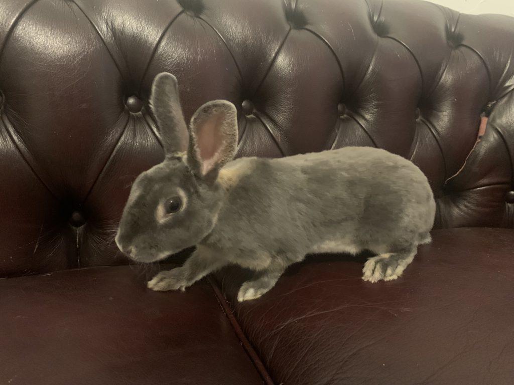 HAWAI – Jeune lapin