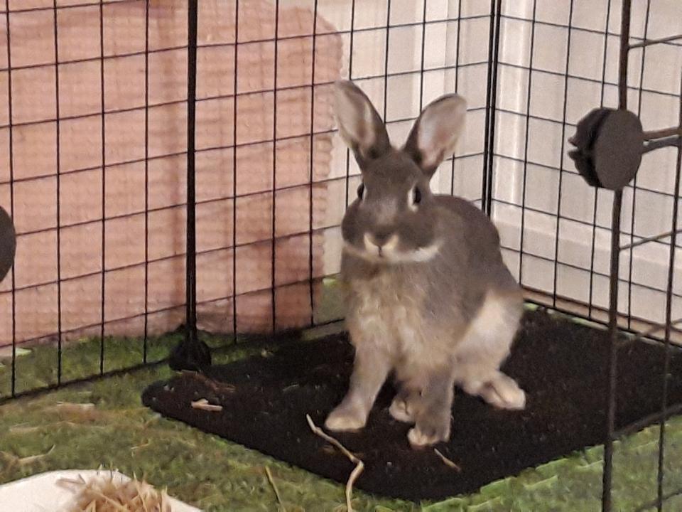 TEXAS – Jeune lapin